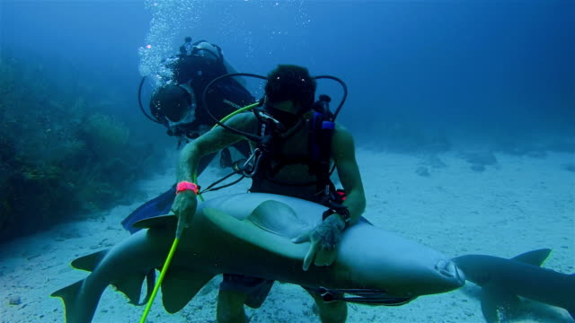 A Scuba diver grabs hold and stroking of a large nurse shark in Caribbean Sea - Belize Barrier Reef / Ambergris Caye video
