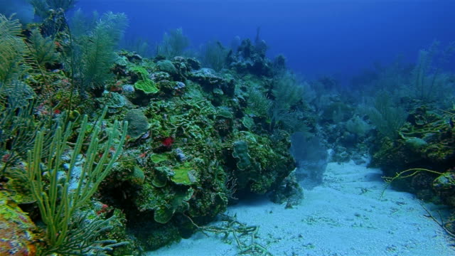 Scuba Diving on coral reef in Caribbean Sea - Belize Barrier Reef / Ambergris Caye video