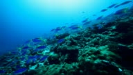 Scuba diving with reef fish in the Pacific Ocean video