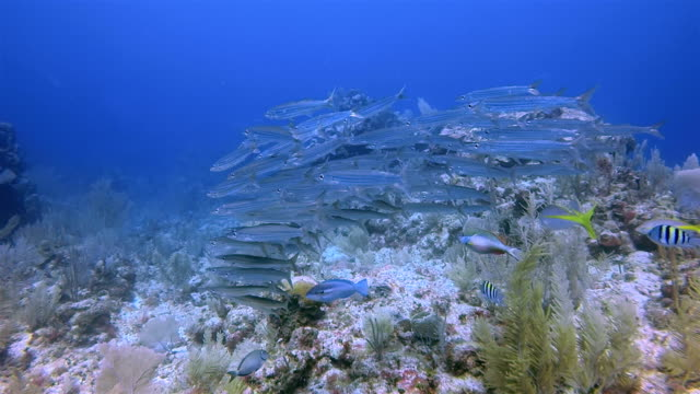 Scuba diving with school of young barracuda on Great Maya Reef in Caribbean Sea near Akumal Bay - Riviera Maya / Cozumel , Quintana Roo , Mexico video