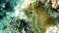Sea anemone and clown fish video