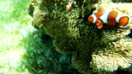 Sea anemone and clown fish video