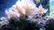 Sea Anemone and Located in the coral reef. video