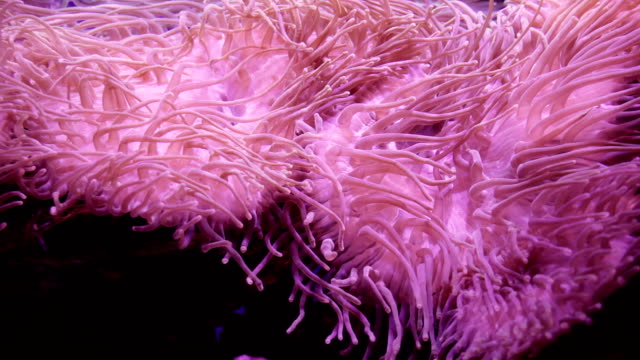 Sea anemone. Beautiful underwater abstract background footage video