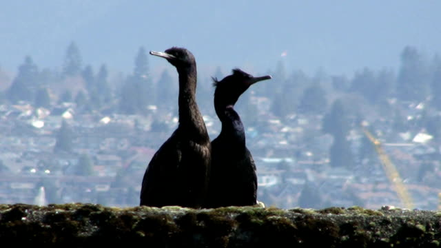 Sea Birds Basking In The Sun (HD 1080p30) video
