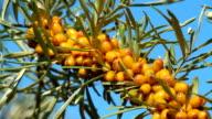 Sea buckthorn berries branch on blue sky background video