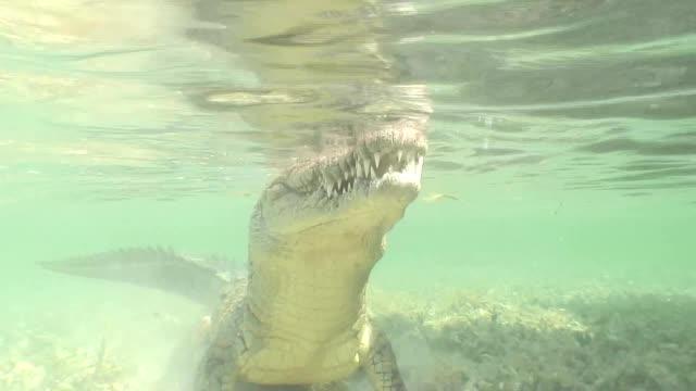 sea Crocodile saltwater Cuba island Caribbean Sea Video video