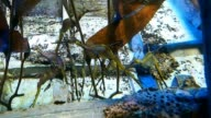 Sea Dragon Fish floating around in the tank video