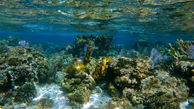 Sea life on beautiful coral reef with Elkhorn coral and purple gorgonian sea fan in Hol Chan Marine Reserve Caribbean Sea video