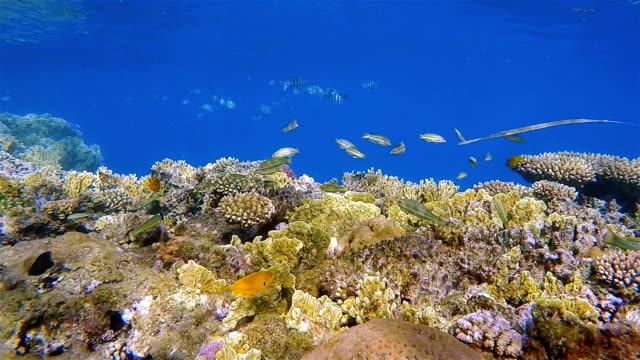 Sea life on beautiful coral reef with lot of tropical Fish and Cornetfish on Red Sea nearby Marsa Alam video