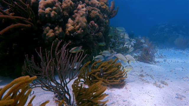 Sea life on beautiful coral reef with snapper Fish and big barracuda in Hol Chan Marine Reserve Caribbean Sea - Belize Barrier Reef / Ambergris Caye video