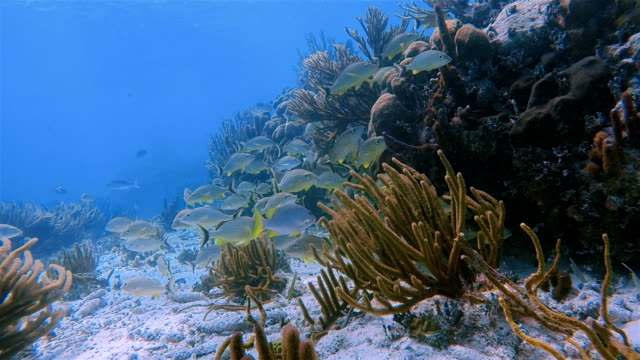 Sea life on beautiful coral reef with snapper Fish in Hol Chan Marine Reserve Caribbean Sea - Belize Barrier Reef / Ambergris Caye video