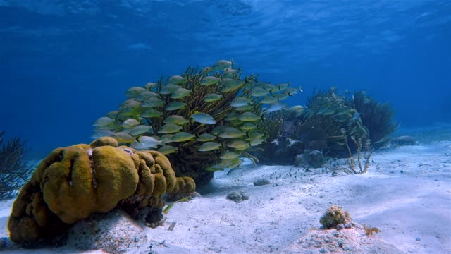 Sea life on beautiful coral reef with yellow snapper Fish in Hol Chan Marine Reserve Caribbean Sea - Belize Barrier Reef / Ambergris Caye video