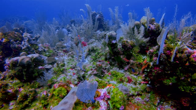 Sea life on coral reef with lot of tropical Fish on Caribbean Sea - Belize Barrier Reef / Ambergris Caye video