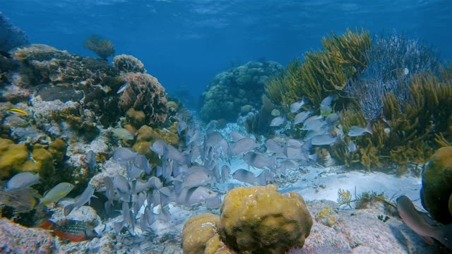 Sea life on coral reef with snapper Fish in Hol Chan Marine Reserve Caribbean Sea - Belize Barrier Reef / Ambergris Caye video
