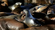 Sea Lion Crowd Surfing video
