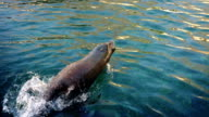 Sea Lion Dives In The Sea video