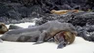 Sea Lions lying video