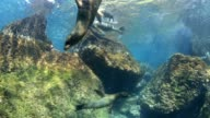 Sea lions playing underwater video