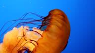 Sea Nettle Jellyfish video