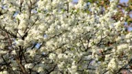 Sea of cherry white blossom with new tiny green leaves, waving in the spring wind. video