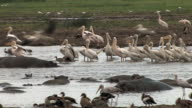 Sea of Pelicans and Hippos video