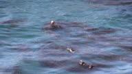 Sea Otter video