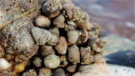 Sea Snails Cling to Rock Around Gentle Sea Waves - Shaldon Harbor CU video