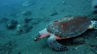 Sea turtle crawls forward on the sand video