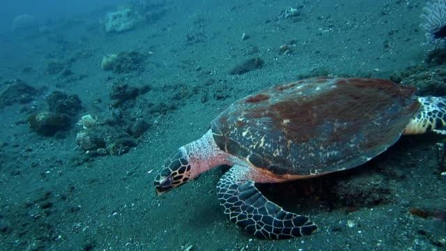 Sea turtle crawls forward on the sand video