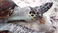 Sea Turtle Eating Coral, Sipadan, Malaysia video