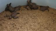 Sea Turtle Eggs with Newborn Animal in Hatchery video