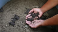 Sea Turtle Eggs with Newborn Animal in Hatchery video