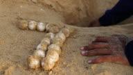 Sea turtle eggs with newborn animal in sand video