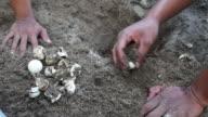Sea turtle eggs with newborn animal video