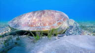 Sea Turtle grazing and swimming on seagrass bed / Marsa Alam video
