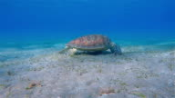 Sea Turtle grazing on seagrass bed / Marsa Alam video