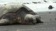 Sea turtle in the beach HD video