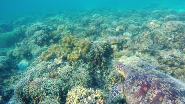 Sea turtle in the tropical sea video