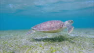 Sea Turtle swimming about seagrass bed / Marsa Alam video