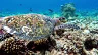 Sea turtle swimming on coral reef - Maldives video