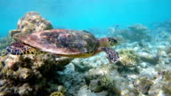 Sea turtle swimming on coral reef video