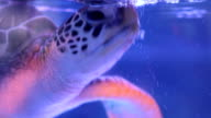 Sea turtle swims in blue underwater video
