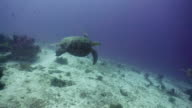 Sea turtle under water video