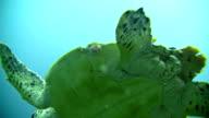 CU Sea Turtle video