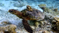 Sea turtle with Seashell on coral reef - Maldives video