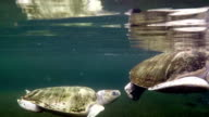 Sea turtles in aquarium video