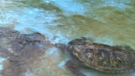 HD, NTSC: Sea turtles in the pool (video) video