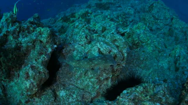 Sea urchin in the rock of reef video