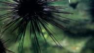 Sea Urchin video